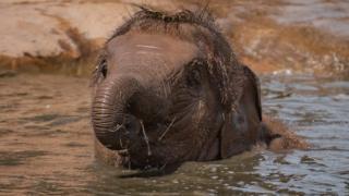 Elephant calf Indali Hi Way