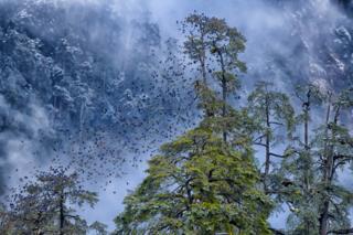 Flock of grandala birds.