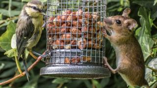 Bird and mouse at bird feeder