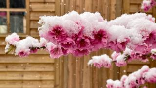 Pink blossom covered in snow