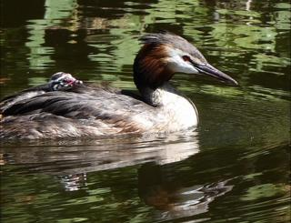 An adult and baby grebe
