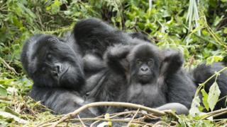 Gorillas feeding on young bamboo shoots and relaxing