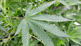 Le cannabis était juste toléré en petites quantités dans le cadre de la médecine traditionnelle