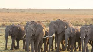 Elephant Herd Walking Across African Plain