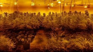 Cannabis factory in Crick
