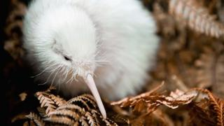 In this handout photo provided by the Pukaha Mt Bruce National Wildlife Centre, a rare white kiwi chick is seen in an outdoor enclosure in the forest reserve at the National Wildlife Centre on June 1, 2011 in Wellington, New Zealand.