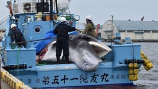 ژاپنیها دوباره نهنگ شکار میکنند