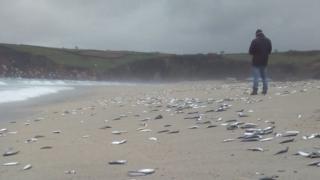 Dead fish on Pentewan Sands