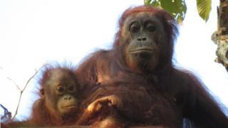 Orangotango com filhote
