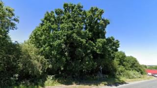 Northamptonshire oak: 5,000-sturdy petition would possibly possibly well build tree thumbnail