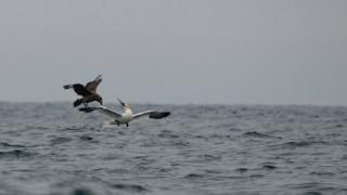 Skua versus gannet