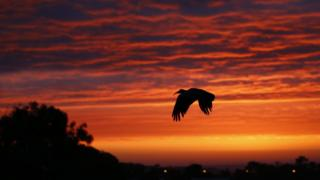 An African sacred ibis soars at sunset over Cape Town, South Africa, 30 April 2017. The African Sacred Ibis is a wading bird occuring mostly in marshy wetlands and breeds in Sub-Saharan Africa, south eastern Iraq, and formerly in Egypt, where it was venerated and often mummified as a symbol of the god Thoth