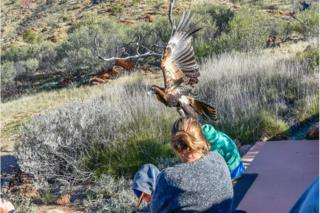 Wedge-tailed eagle attempts to lift boy into the air in Australia