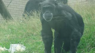 A chimpanzee smiles at the Welsh Mountain Zoo