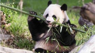 Mei Xiang, the panda, chews some bamboo