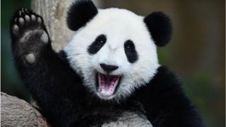 Цьому дитинчаті панди Нюан-Нюан виповнюється один рік в один день, як її мати Ліанг-Ліанг святкує 10 років. Вони живуть у зоопарку Куала-Лумпур.