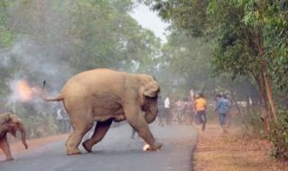 Dois elefantes, incendiados por uma multidão, fogem atravessando estrada