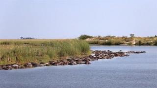 Мертві буйволи плавають у річці