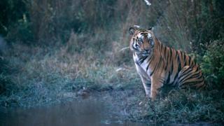 ভারতের বান্ধবগড় অভয়ারণ্যে রয়্যাল বেঙ্গল টাইগার