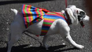 A dog with a pride outfit on