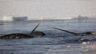 نهنگهای تک شاخ