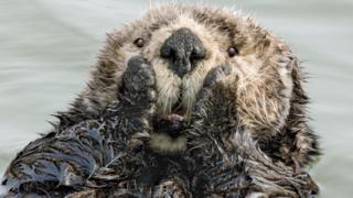 Image of Sea Otter looking shocked in the water