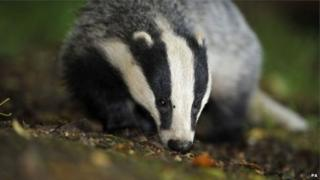 Badger culls have varying impacts on cattle TB