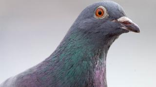 File image of a pigeon