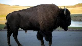 A bison walks in Yellowstone National Park in Wyoming, U.S. on August 10, 2011
