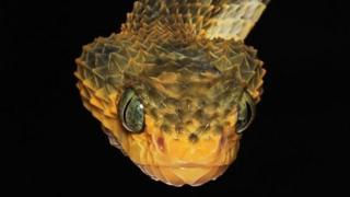 Atheris Viper (Bush Viper)