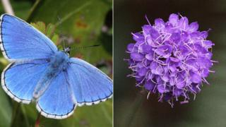 Adonis blue butterfly and devil's-bit scabious