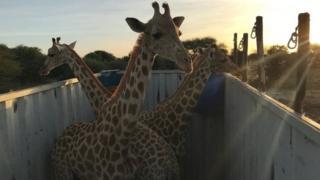 Žirafe u prikolici