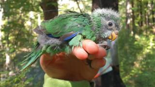 An orange-fronted parakeet chick