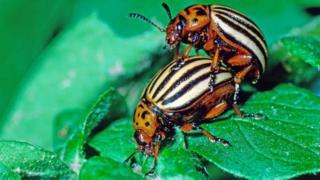 Колорадські жуки