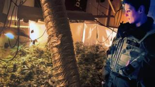 Raid on the cannabis farm