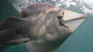 Guitarfish are one of the newly protected species