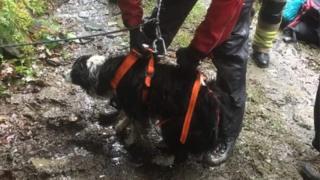 Sheepdog in harness