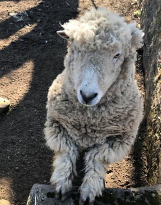 Lamb in Sorn
