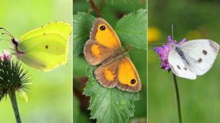 A composite of three pictures of butterflies in the UK