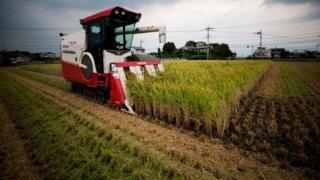 Un agriculteur japonais récolte le riz avec une moissonneuse-batteuse au Japon. Autrefois, le riz servait de monnaie d'échange dans l'Etat insulaire.