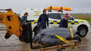 Turtle being recovered