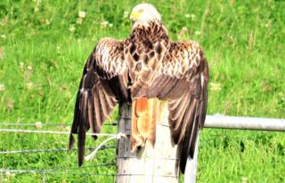 red kite drying off