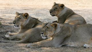 Asiatic Lions lounge in the shade of a tree near the village of Sasan on the edge of Gir National Park on 10 December 2007