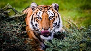 A female Bengal tiger