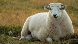 A sheep relaxes on the Horseshoe Pass in Denbighshire, taken by Emma Howe