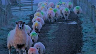 Sheep in the mist in Bashall Eaves