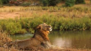 """Лев у національному парку """"Крюгер"""" у Південній Африці"""