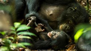 A female bonobo (Pan paniscus) tickles her baby