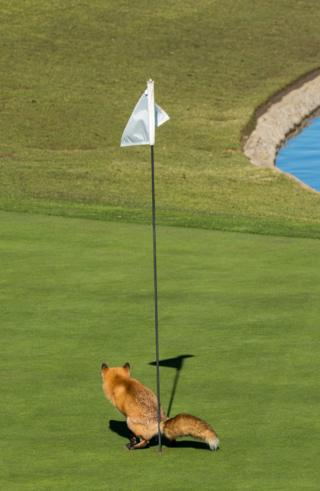 A fox defecating in a golf course hole