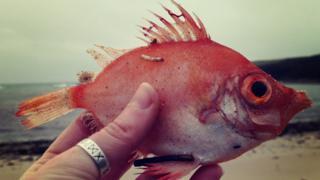 Dead Boar Fish